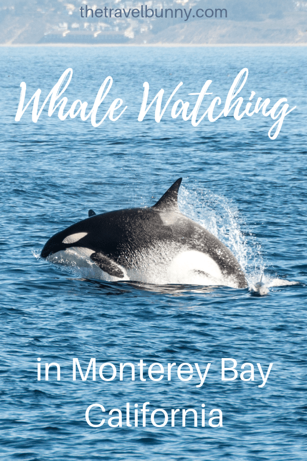 A day of epic sightings on a whale watching trip in Monterey Bay, California #whales #orcas #wildlife #montereybay #california #whalephotography #whalewatching