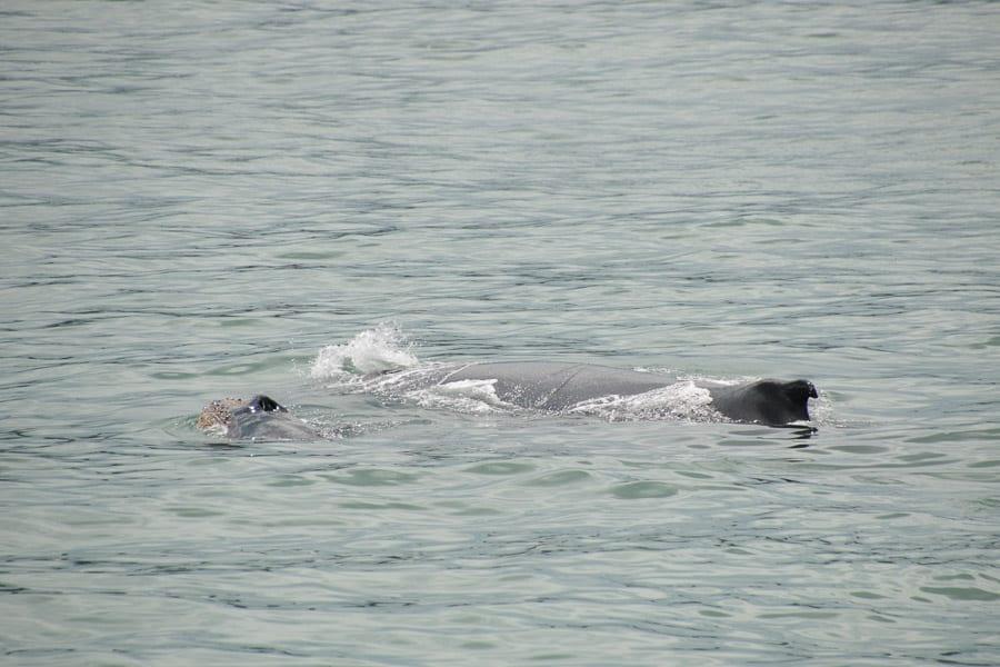 Humpback whales, Manuel Antonio, Costa Rica