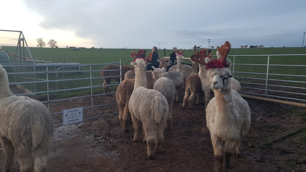 A group of reinpacas in a pen at Charnwood Forest Alpacas