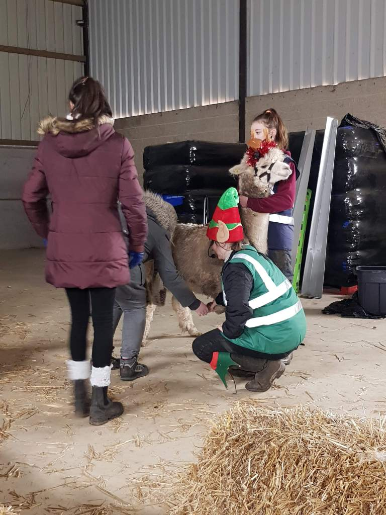 A guide from Charnwood Forest Alpaca running the health safety briefing with an alpaca example