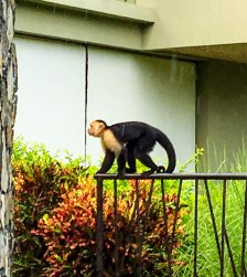 Monkeys came out daily to check out our fruit selectionj