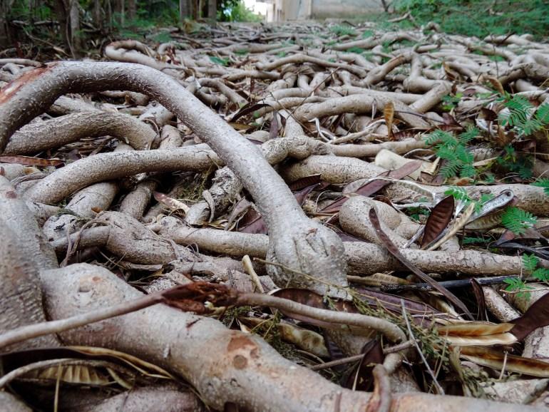 Overgrown roots
