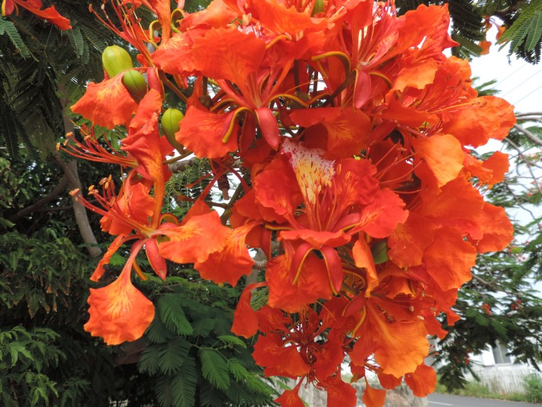 Flamoyant flower