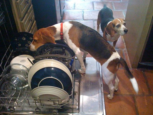 German style dog adoptions…