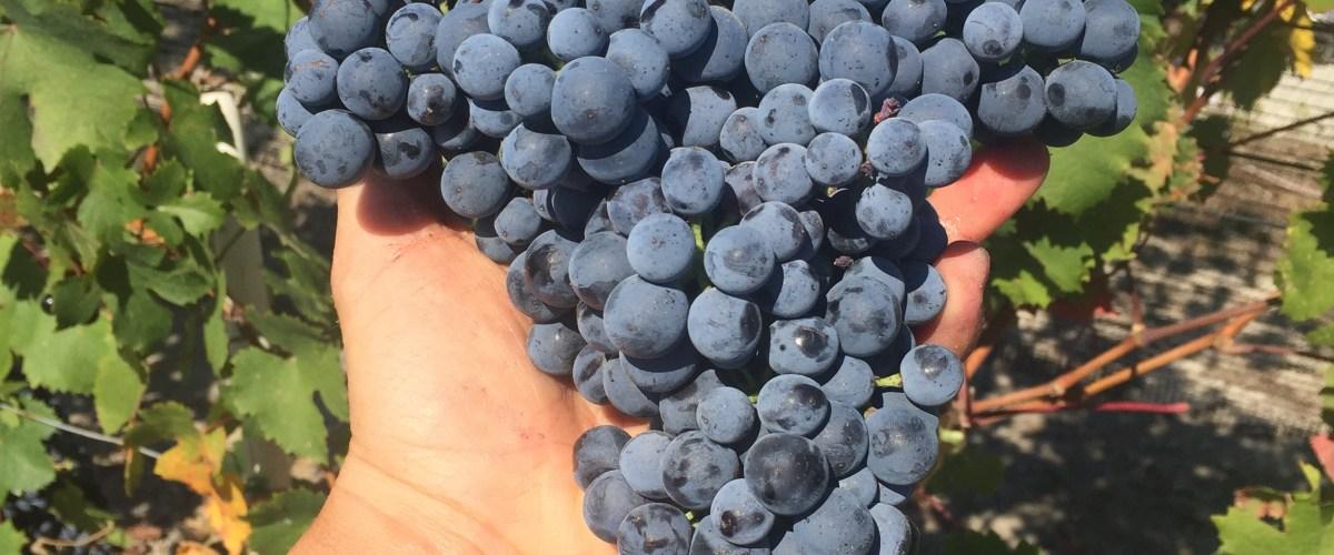 Grape Pickin' in Piedmont