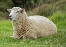2016 04 01 Sail Day 3 Urupukapuka Island Sheep-118