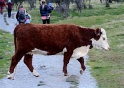 2016 04 28 Sheep and Cows Mt Aspiring Park (101)