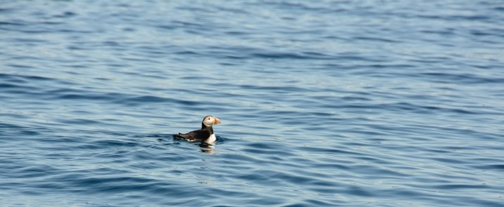 puffin-swimming
