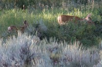 Mother Deer and Fawn Grazing