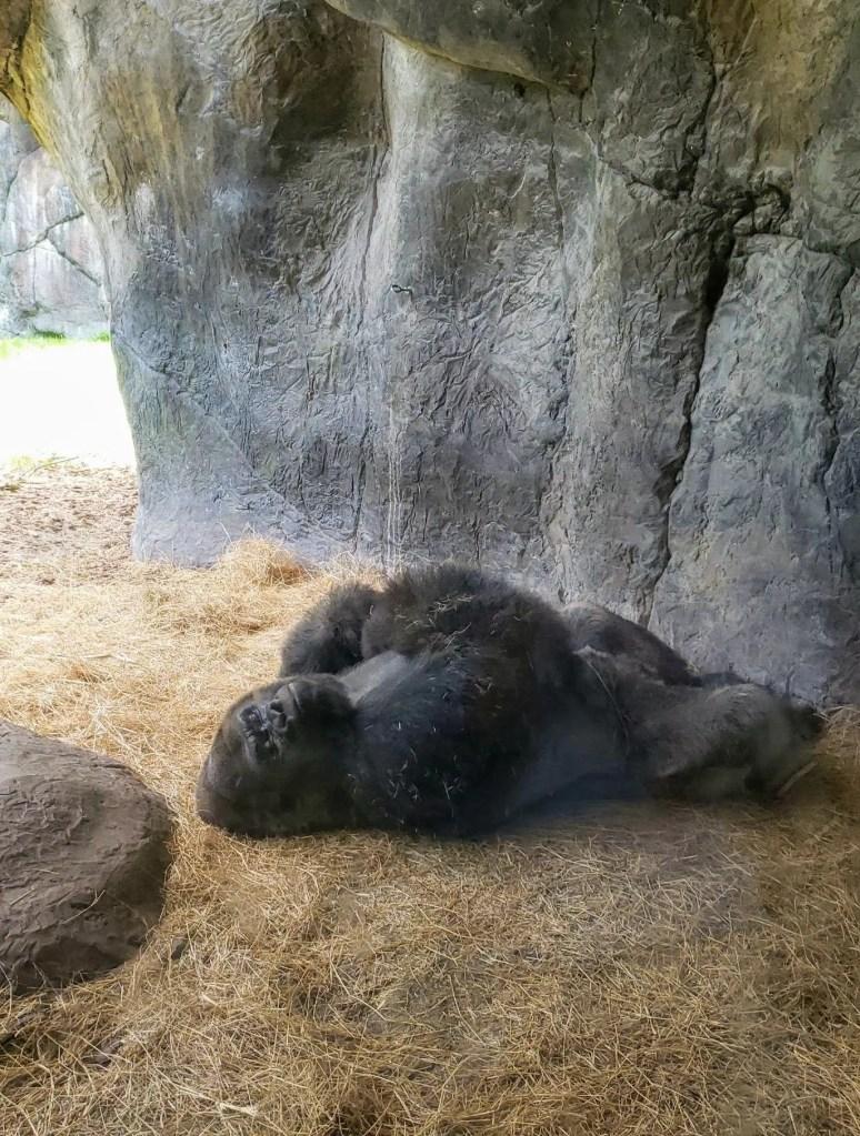Gorilla, Busch Gardens Tampa Bay