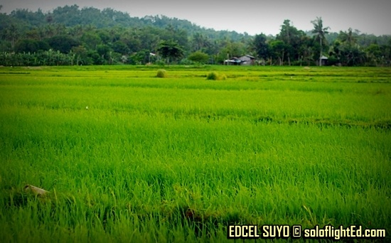 rice fields in Navalas, Guimaras