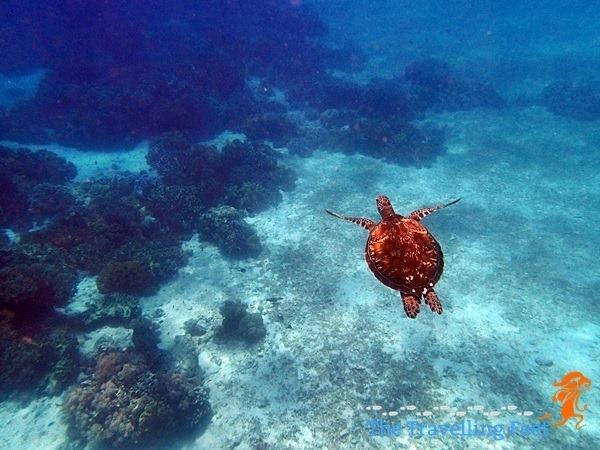 a leatherback swimming away
