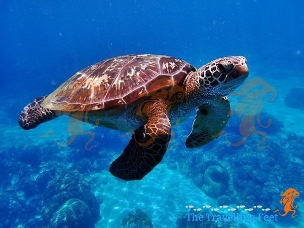 what looks like a hawksbill turtle