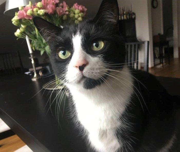 primo piano di gatto bianco e nero