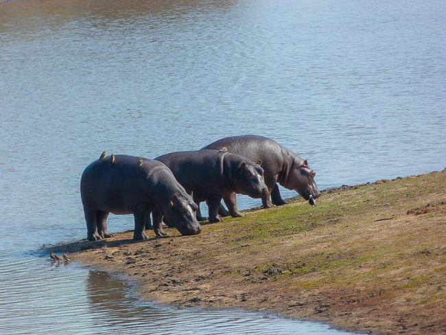 Safari in Kruger National Park - Hippos