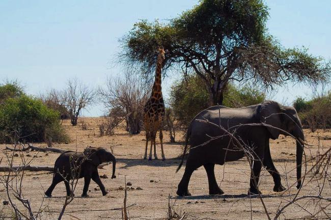 Safari in Kruger National Park - Elephant family and giraffe