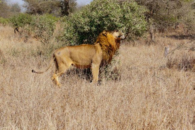 Safari in Kruger National Park - Male lion