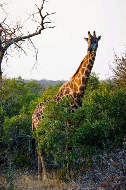 Safari in Kruger National Park - Giraffe