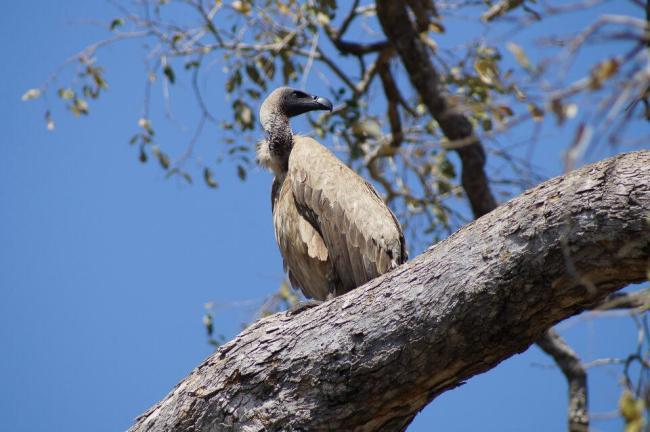 Safari in Kruger National Park - White-backed vulture