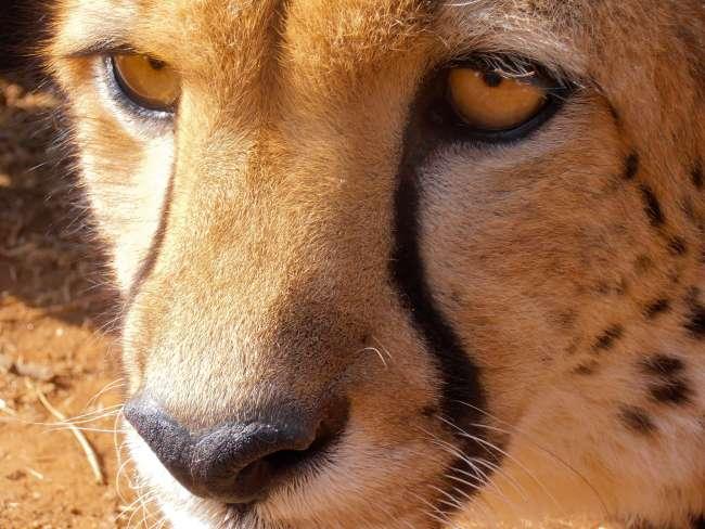 Safari in Kruger National Park - Cheetah close up