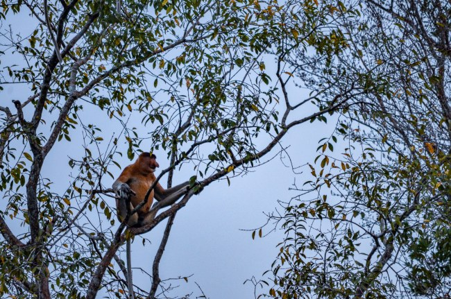Visiting orangutans in Borneo, Indonesia - spotting Proboscis monkeys in Tanjung Puting