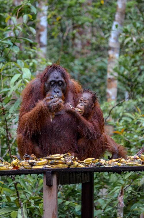 Visiting orangutans in Borneo, Indonesia - orangutans eating bananas in Tanjung Puting