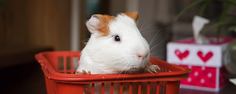 Guinea Pig in a basket.