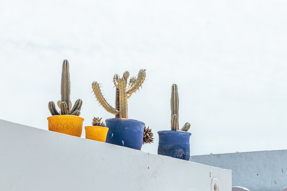 Cacti on display at Jardin Marjorelle Marrakech Morocco