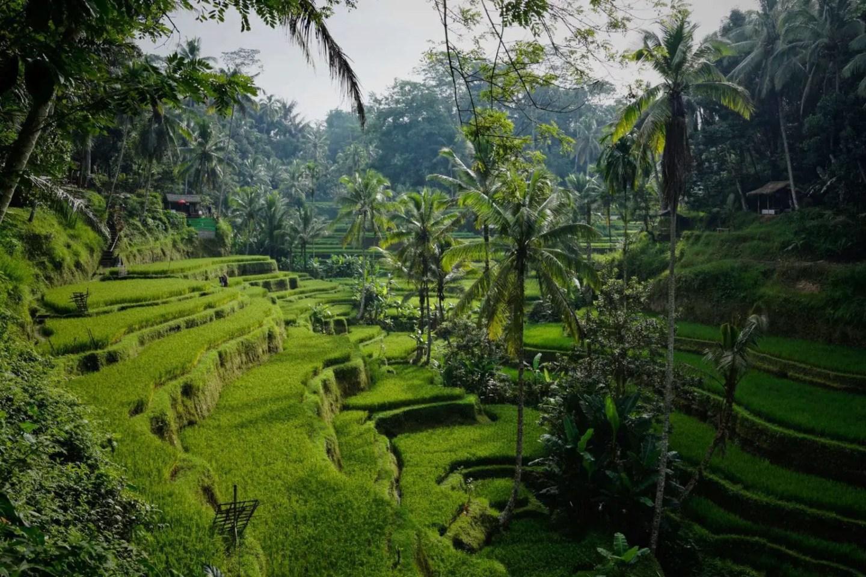 Ubud 3 day itinerary - rice fields