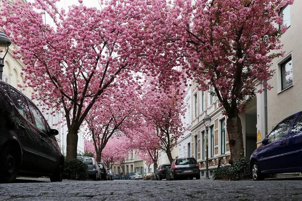 Cherry blossoms in Heerstrasse Bonn