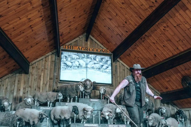 Agrodome sheep show Rotorua