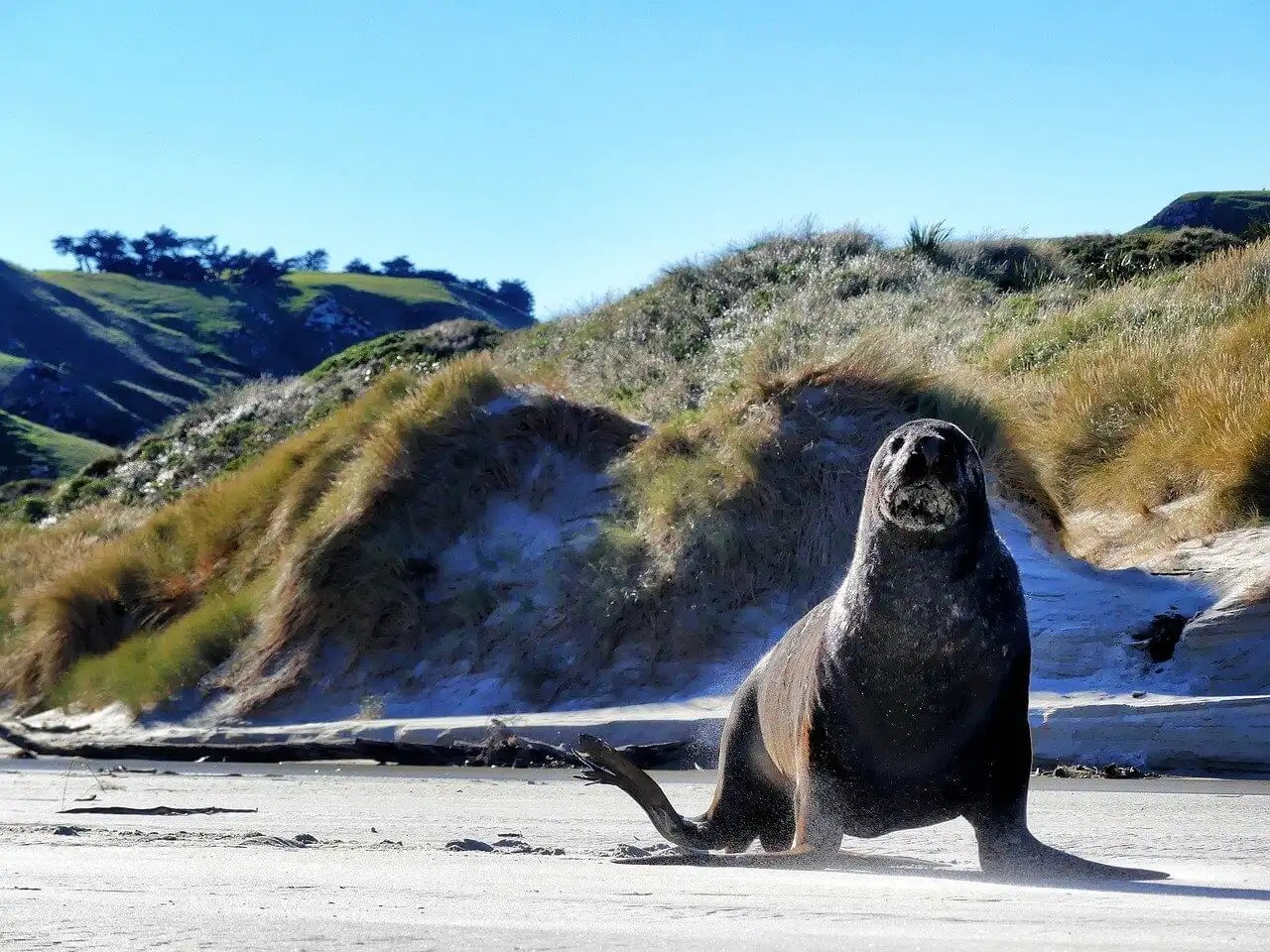 10 days New Zealand South Island itinerary - Dunedin Seals
