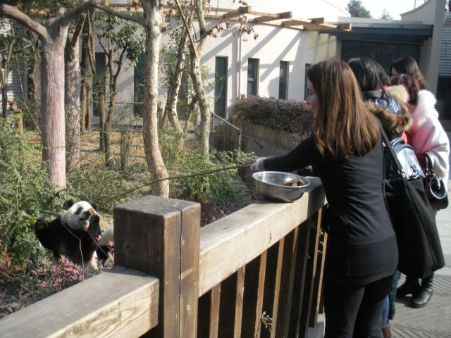 feeding giant panda chengdu china is part of panda volunteering in china