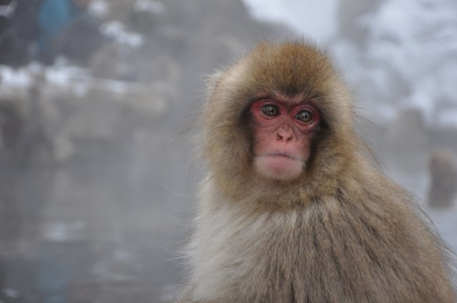 Snow monkey nagano japan