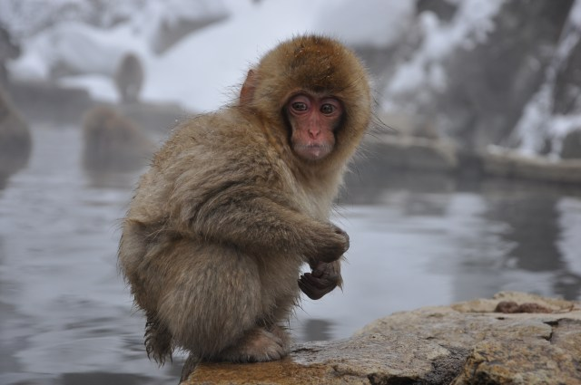 Japanese Snow monkey Nagano snow monkeys in Japan