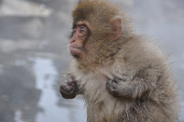 japanese Snow monkey japan monkey park nagano