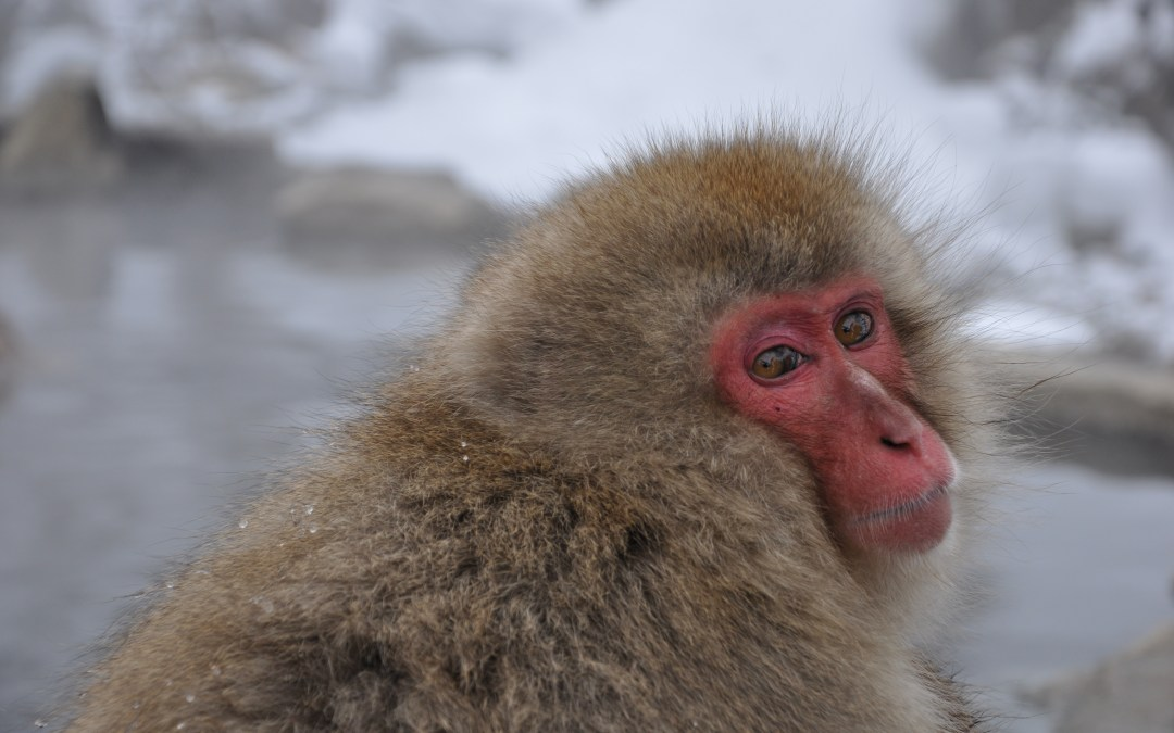 A Visit with the Snow Monkeys at Jigokudani Monkey Park, Japan
