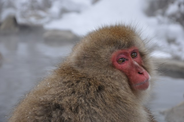 Snow monkey Japan at Nagano monkey park
