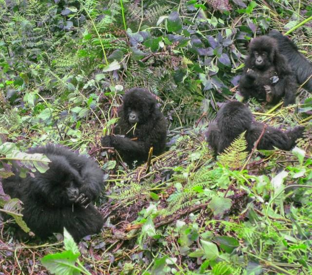 mountain gorilla mountain gorillas, gorilla trekking rwanda, rwanda gorilla trekking, gorillas rwanda, rwanda gorillas rwanda gorilla trek mountain gorilla tracking rwanda safaris rwanda gorilla safaris