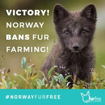 norway bans fur farming fox