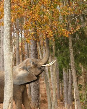 nosey the elephant sanctuary
