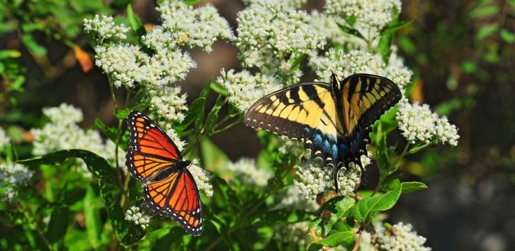 monarch-swallowtail-milkweed