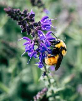 pollinator friendly garden bumblebee flower