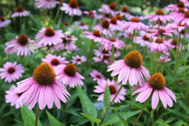 pollinator friendly garden perennial coneflowers