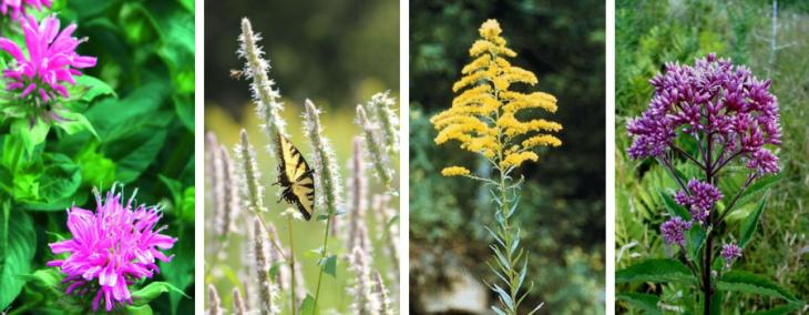 pollinator friendly garden perennials 2
