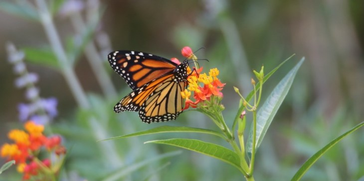 raising monarch butterflies photo