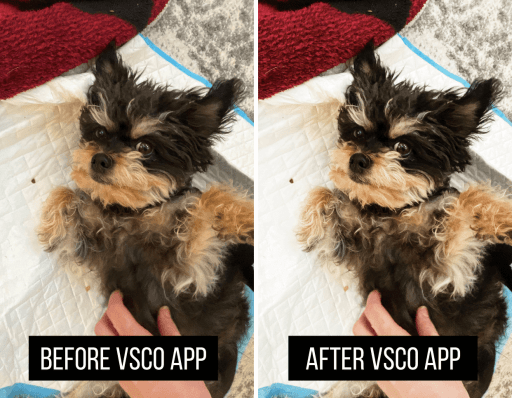 """Collage of two images side by side.  Image on the left is my small rescue dog, laying on her back and looking up at the camera. Text over image reads, """"Before VSCO App"""".  Image on the right is the same photo of the dog, after having a photo editing filter applied to make the colors stand out and look more crisp. Text over image reads, """"After VSCO App""""."""