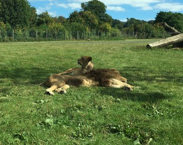 Lions at Longleat Safari Park