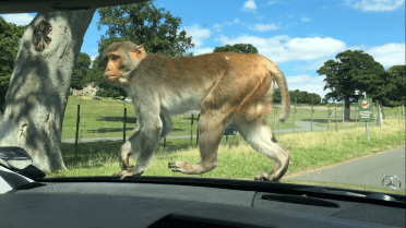 Monkey on my car in Longleat Safari Park