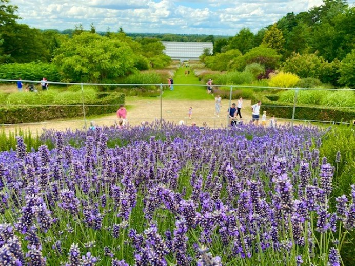 Best Lavender Fields near London